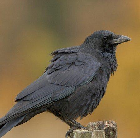 Vabunozoty dossier for Oiseau orange et noir